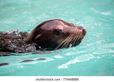 Sealion close-up portrait