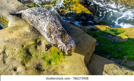 Sealion resting on cliffs