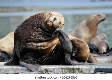 Sea-lion resting on  his chin.