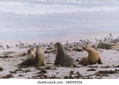 Sealions on a beach with a flock of seagulls.