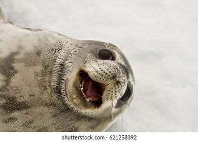 seal(Leptonychotes weddelli), a young