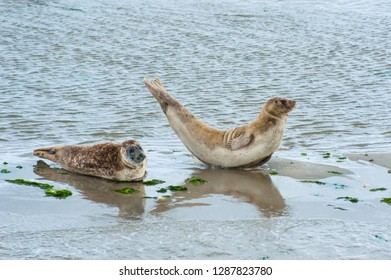 Seals captured lying on the shores of Ameland in Northern Netherlands
