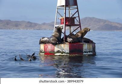 Seals lazing in the sun on red and white buoy, Baja, Mexico