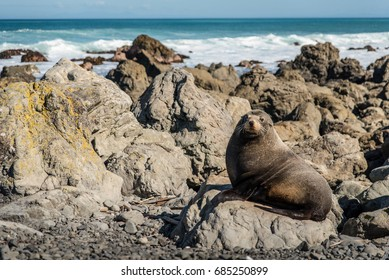 Seals lounge on rocks next to the coast in New Zealand.