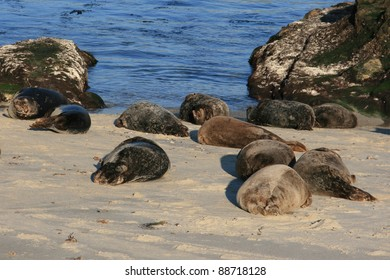 Seals lounging on the beach in La Jolla, California