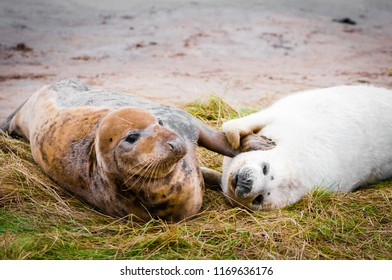 Seals lying on the beach at Donna Nook Seal Colony, UK