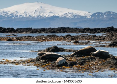 Seals lying on the shore among seaweed with scenic snowy Snaefellsjokull mountain peak on the background
