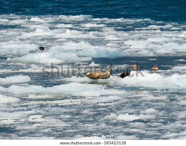 Seals near Prince William Sound, Alaska, USA