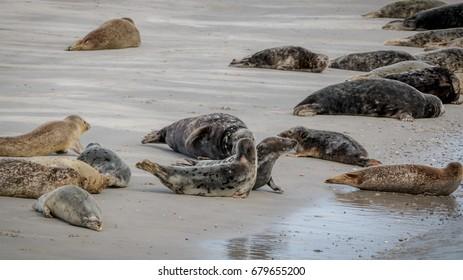 Seals Northsea Helgoland Germany