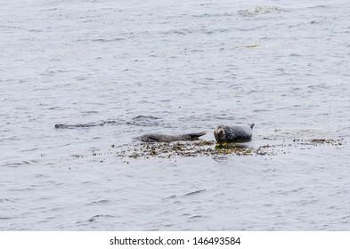Seals on Aran Islands, Ireland