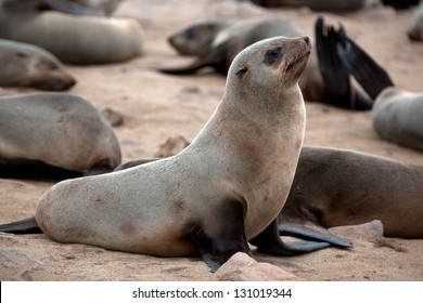 A lot of seals on the beach in Namibia. Skeleton Coast. Namibia. Africa.