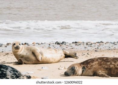 Seals on the beach in Norfolk