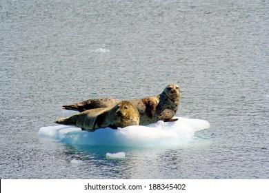 Seals on ice floes Prince William Sound Alaska