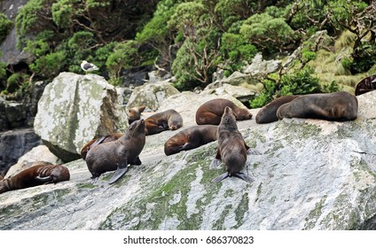 Seals on the rock, New Zealand