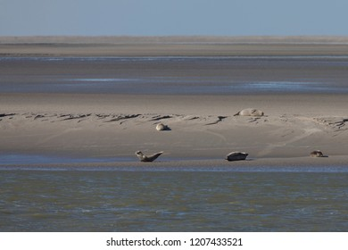 Seals on the sand at Pointe du Hourdel, Picardy, France.