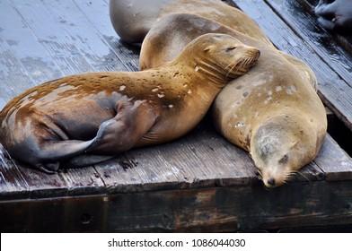 Seals on fisherman's wharf San Francisco , sleeping in the sun