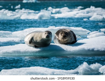 Seals perched on floating glacial ice in a deep blue glacial lagoon
