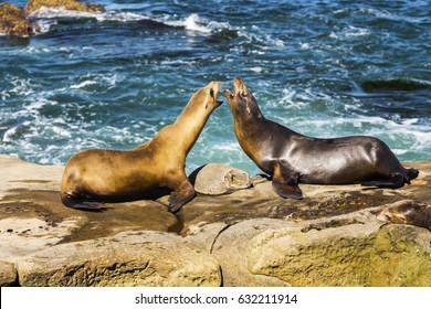 Seals Playing Marine Sea Life Mating Ritual La Jolla Cove San Diego California United States