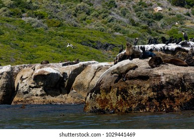 Seals Relaxing in Sun and Jumping from Cliffs into the Sea
