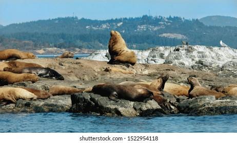Seals in the Salish Sea
