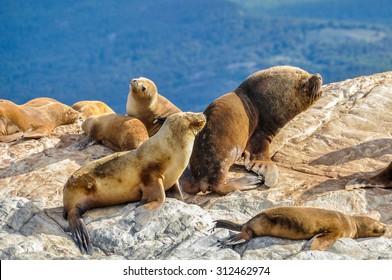 Seals and sea lions, Beagle Channel, Ushuaia, Argentina