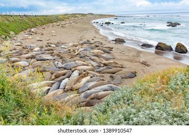 seals sleeping at the beach near San Simeon, California