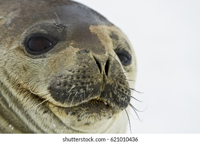 the seals of the Weddell sea East Antarctica