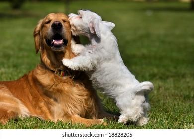 Sealyham Terrier and golden retriever