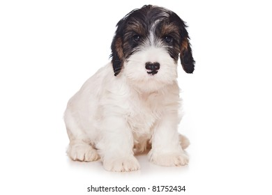 Sealyham Terrier isolated on white