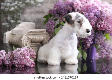 sealyham terrier puppy on a background of blossoming lilac