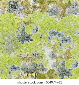 Seamless abstract background. Multicolored patches of lichens on smooth bark of maple tree. The pattern formed by the contours of lichens on tree bark. Lichen on tree bark texture closeup
