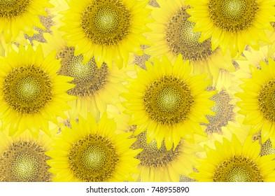 Seamless background of fresh beautiful sunflower