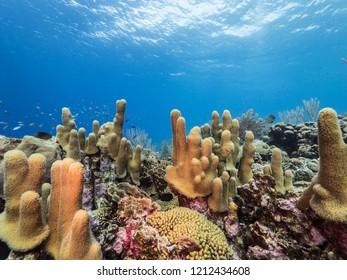 Seascape in Caribbean Sea with pillar corals and view to surface -wide angel of coral reef at scuba dive around Curaçao /Netherlands Antilles with soft and hard coral in foreground and blue background
