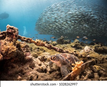 Seascape of coral reef / Caribbean Sea / Curacao with bait ball
