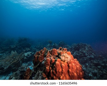 Seascape of coral reef / Caribbean Sea / Curacao with feather duster worm in hard coral, various hard and soft corals, sponges and blue background