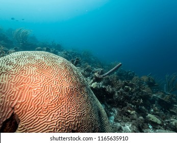 Seascape of coral reef / Caribbean Sea / Curacao with big brain coral, various hard and soft corals, sponges and blue background