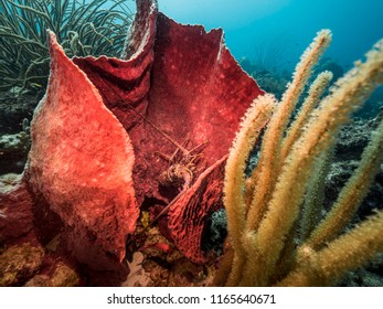 Seascape of coral reef / Caribbean Sea / Curacao with lobster in sponge, various hard and soft corals and blue background