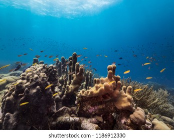 Seascape of coral reef / Caribbean Sea / Curacao with pillar coral and blue background