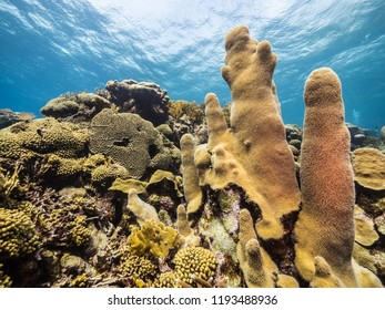 Seascape of coral reef in the Caribbean Sea around Curacao at dive site Barracuda Point with pillar coral and view to surface