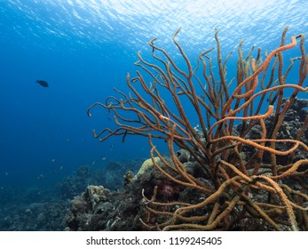 Seascape of coral reef / Caribbean Sea / Curacao with soft coral and view to surface