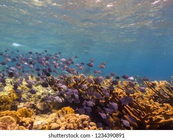 Seascape of coral reef in Caribbean Sea around Curacao at dive site Barracuda Point  with elkhorn coral and school of fish