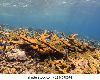 Seascape of coral reef in Caribbean Sea around Curacao at dive site Barracuda Point  with elkhorn coral