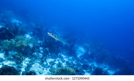 Seascape of coral reef in Caribbean Sea around Curacao at dive site Duane's Release  with Barracuda, various coral and sponge