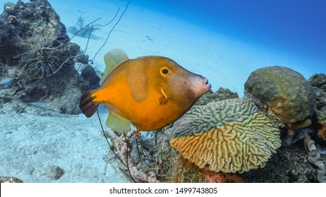 Seascape of coral reef in the Caribbean Sea around Curacao with Whitespotted Filefish