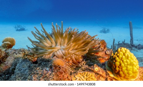 Seascape of coral reef in the Caribbean Sea around Curacao with Sea anemone, coral and sponge