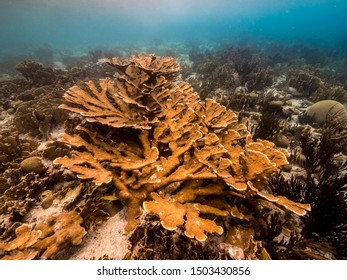 Seascape of coral reef in the Caribbean Sea around Curacao with Elkhorn Coral and sponge