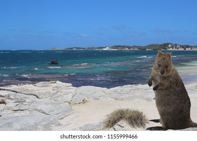 Seascape of Rottnest Island with one of its most famous inhabitants - a little kangaroo called quokka (photo composition)