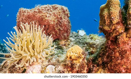 Seascape in turquoise water of coral reef in Caribbean Sea, Curacao with Sea Anemone, Moray Eel, fish, coral and sponge