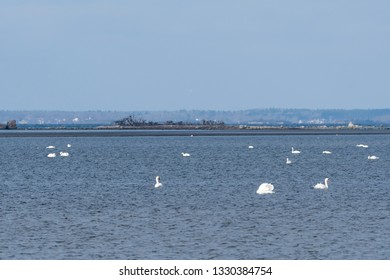 Seascape with white swans swimming in a bay in the Baltic Sea in sweden