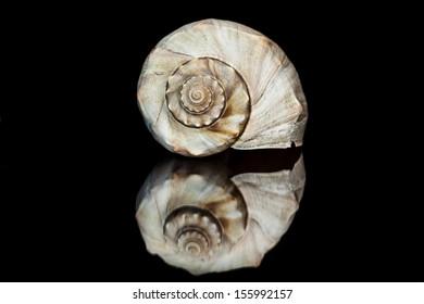 seashell conch reflection